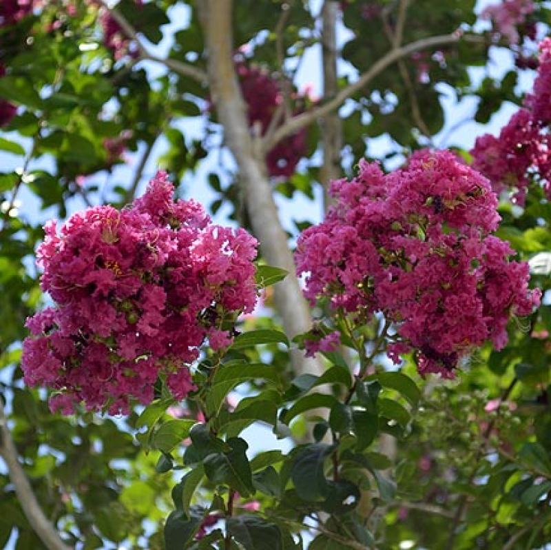 Lagerstroemia indica 'pink velour pp10319'