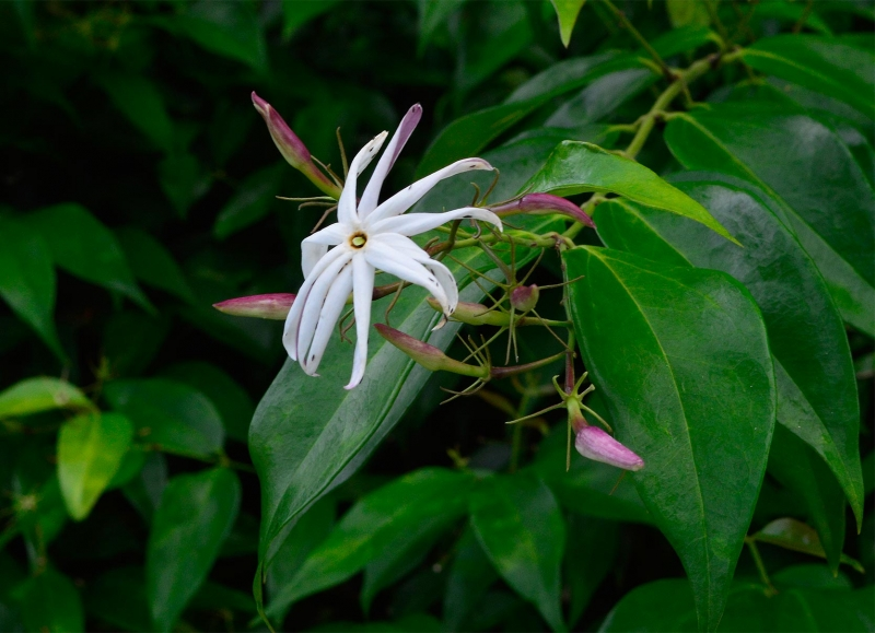 Jasminum volubile