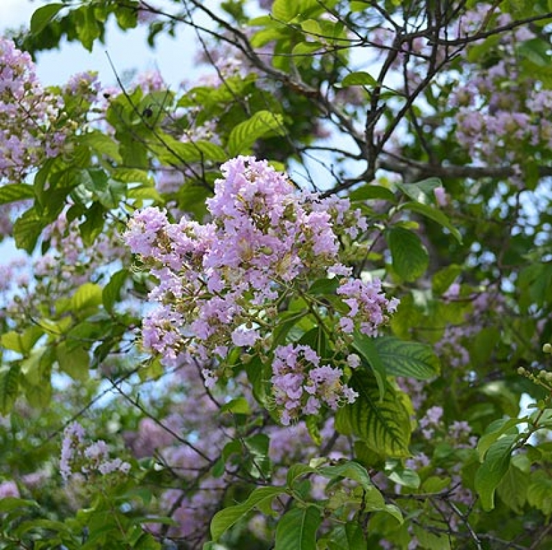 Lagerstroemia indica 'Muskogee'