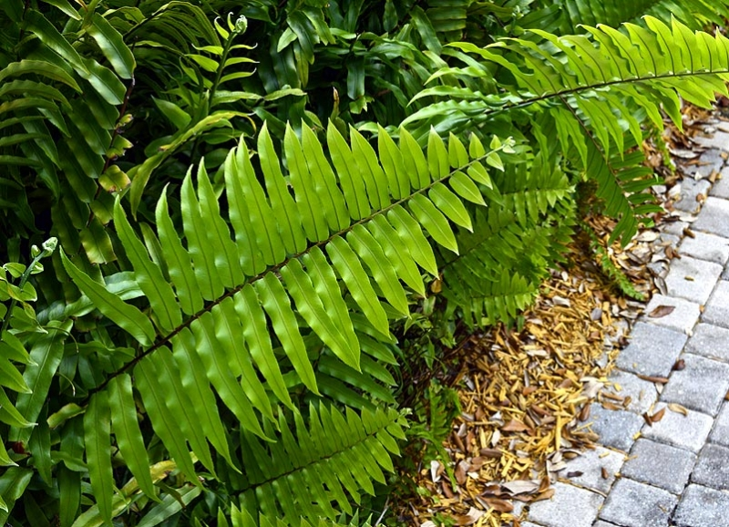 Nephrolepis falcata 'Macho Fern'