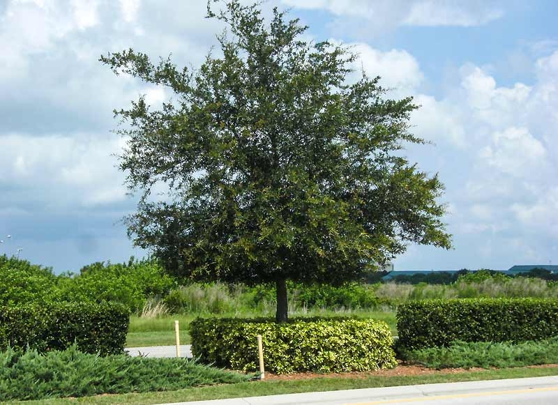 quercus-virginiana-cover