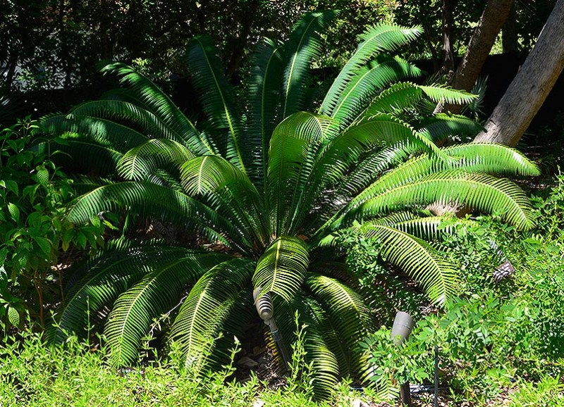 Dioon spinulosum 2