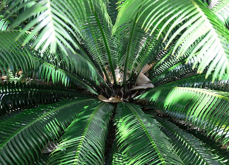 Dioon spinulosum 4