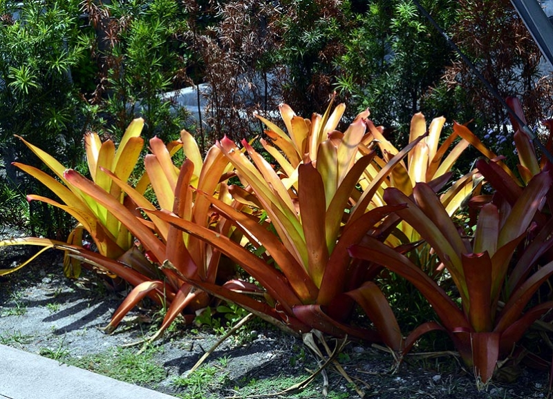 Aechmea blanchetiana 'Orange' 10