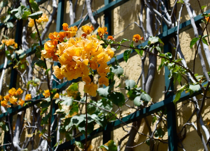 Bougainvillea 'California Gold' 1