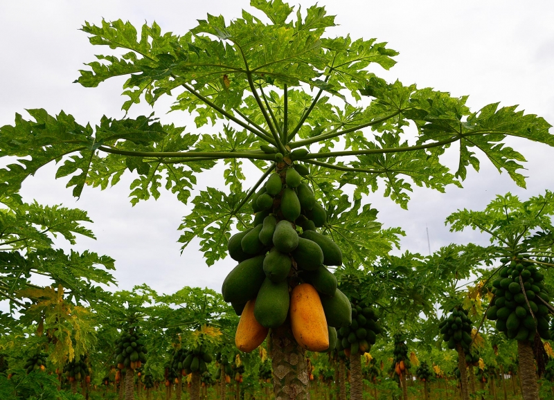 Carica papaya 2