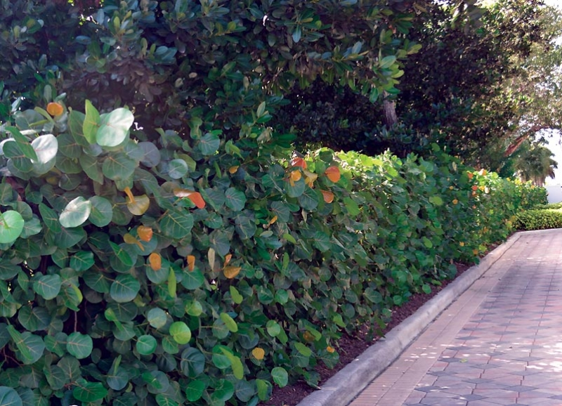 Landscape Hedges_6
