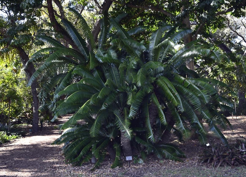 Dioon spinulosum 10
