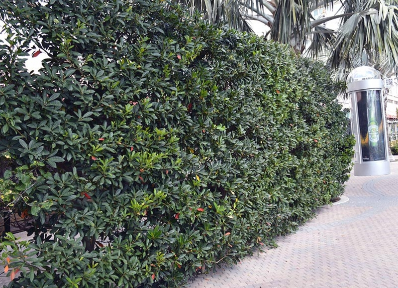 Landscape Hedges_8