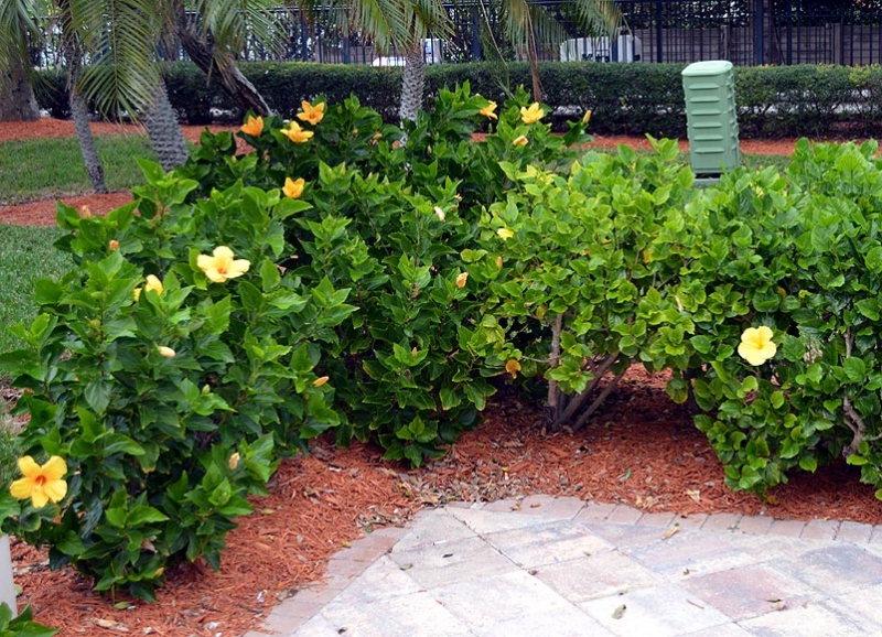Hibiscus rosa-sinensis 'Sunset Yellow' 10