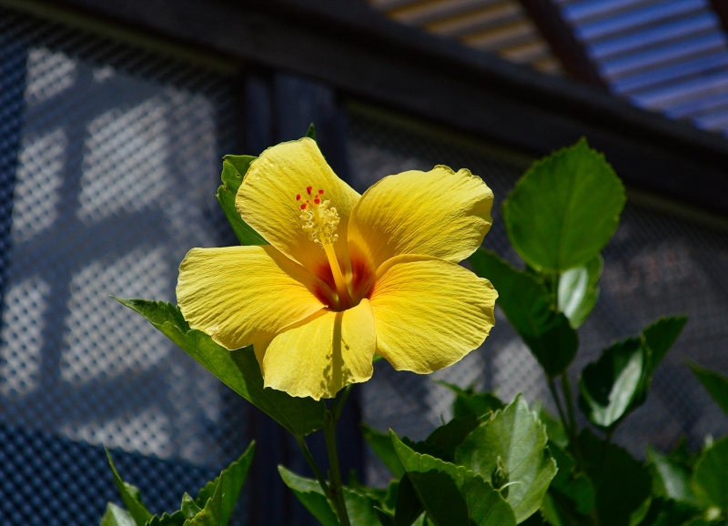 Hibiscus rosa-sinensis 'Sunset Yellow' 2