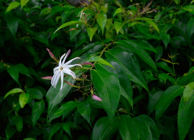 Jasminum volubile 1