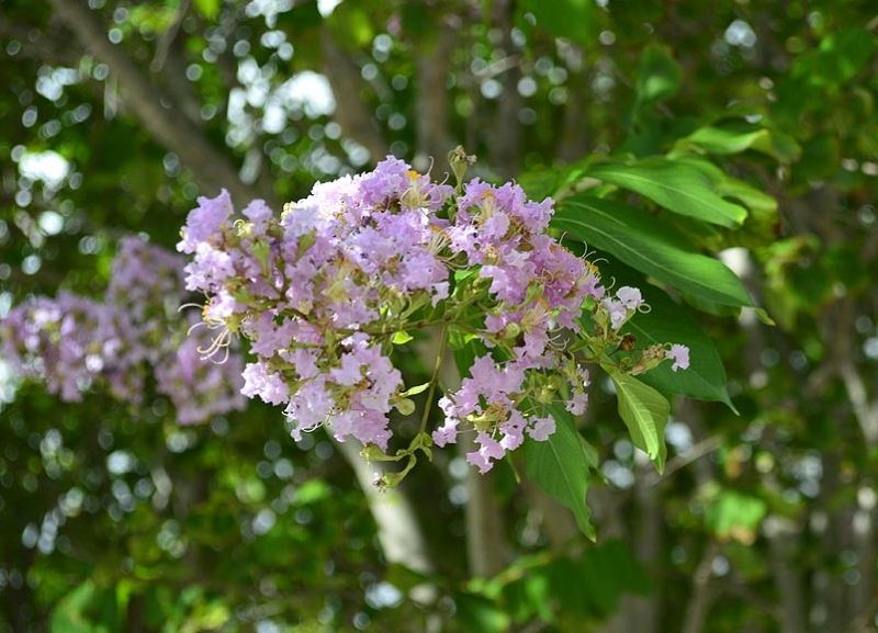 Lagerstroemia indica 'Muskogee' 1