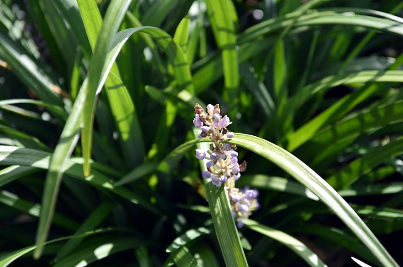 Liriope muscari 'Evergreen Giant' 1