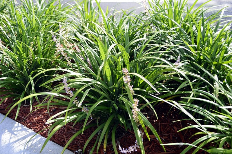 Liriope muscari 'Evergreen Giant' 2