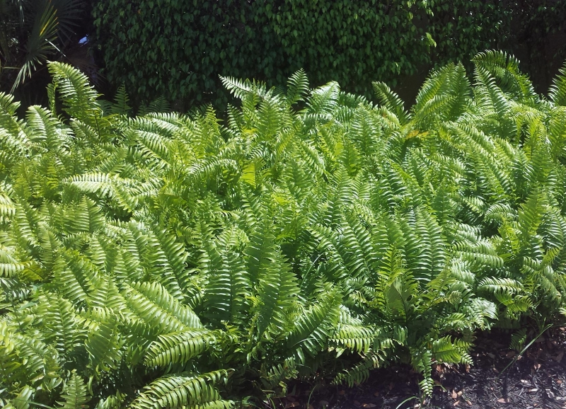 Nephrolepis falcata 'Macho Fern' 2